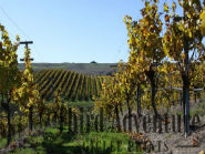 Fall Leaf Giclee Print, Vineyard Photograph, Northern California Photography