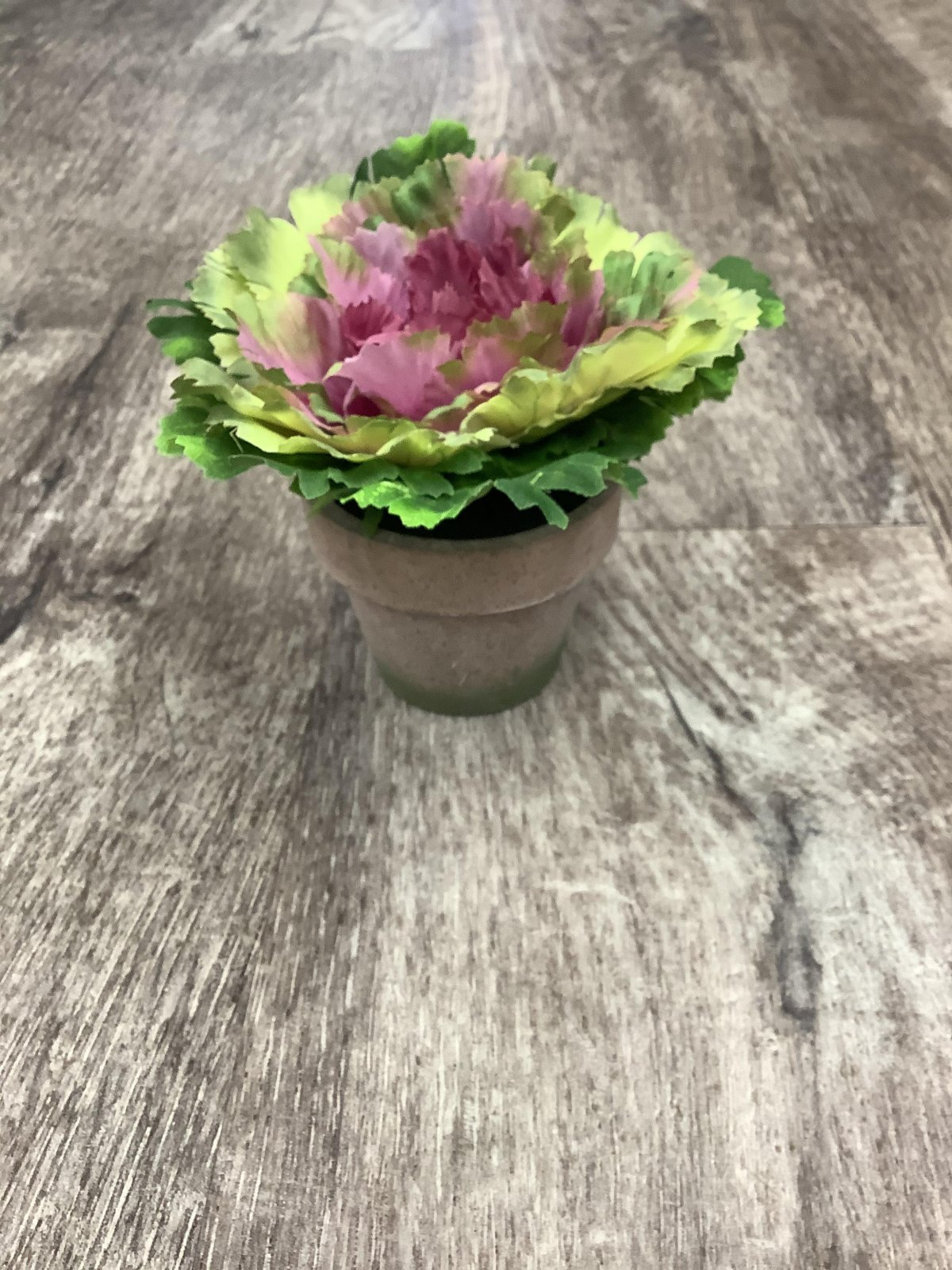 Potted Purple Ornamental Cabbage