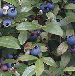 Blueberries and Leaves-ELS151