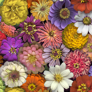 Flower Power - Floral Multi - Only 5/8 yd left!
