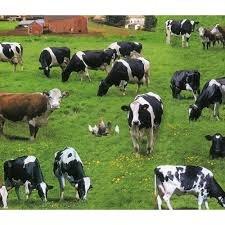 ELIZABETHS STUDIO: COW