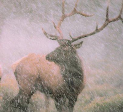 Elk in Storm