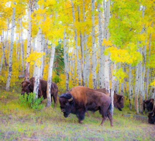 Autumn Buffalo