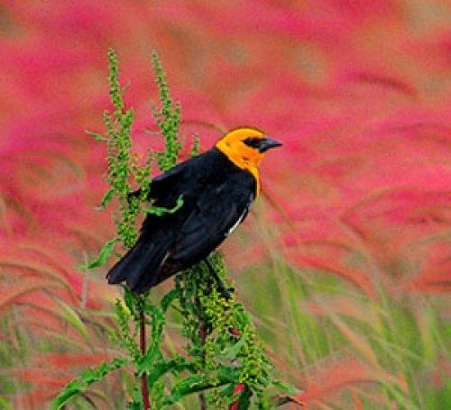 Blackbird and Grasses