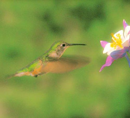 Hummingbird and Columbine