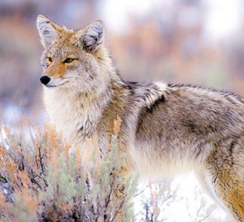 Sage Coyote