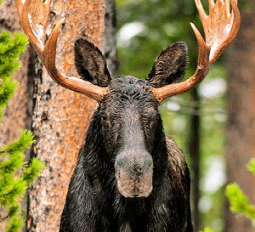Skinny Chocolate Moose