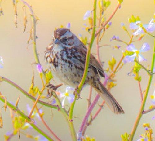 Spring Sparrow