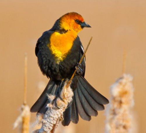 Yellow-headed Blackbird Display