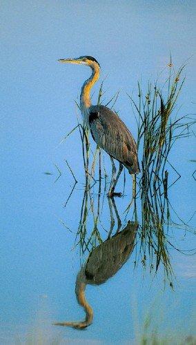 Blue Heron Deluxe Framing