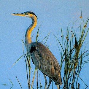 Blue Heron Unframed Photograph