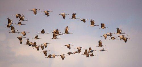 Circle of Cranes Panoramic Plus Framed Photograph