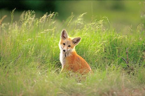 Evening Fox Framed Image