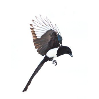 Magpie Study #1 Unframed Photograph
