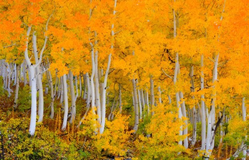October Aspens Unframed Photograph