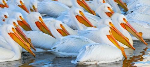 Pelicans Framed Photograph