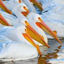 Pelicans Deluxe Framing