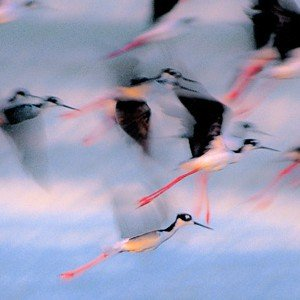Stilts in Flight Panoramic Unframed Photograph
