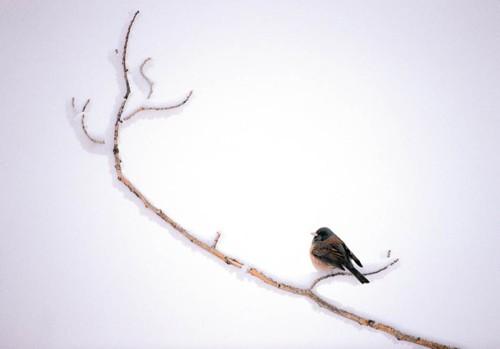 Winter Junco Framed Photograph