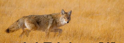 Yellow Wolf Panoramic Unframed Image