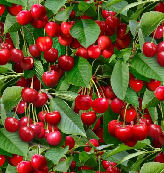 cherry clusters