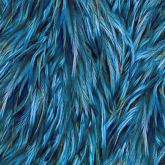 Feathers - blue peacock feathers