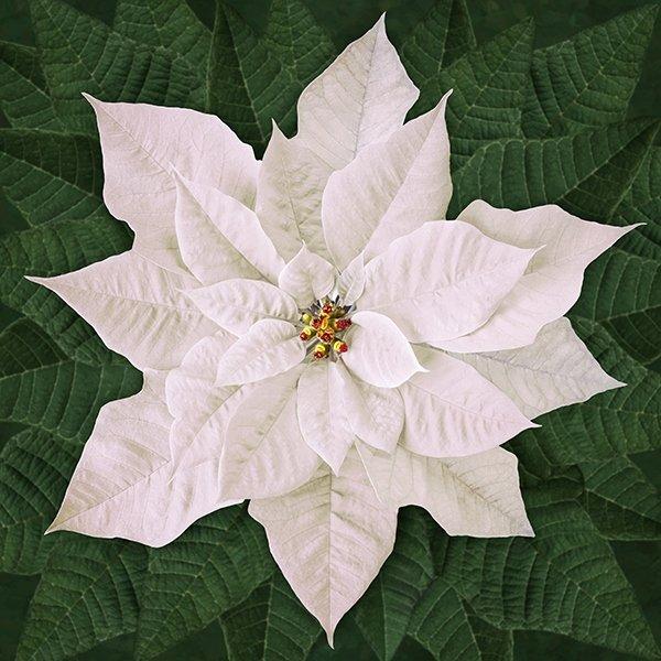 Dream Big Holiday White Poinsettia