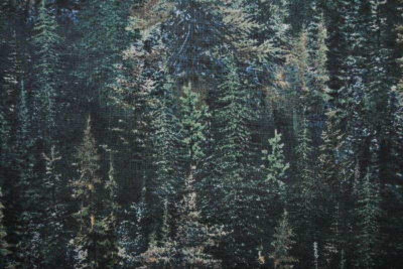 Lookout Peak Pine Trees