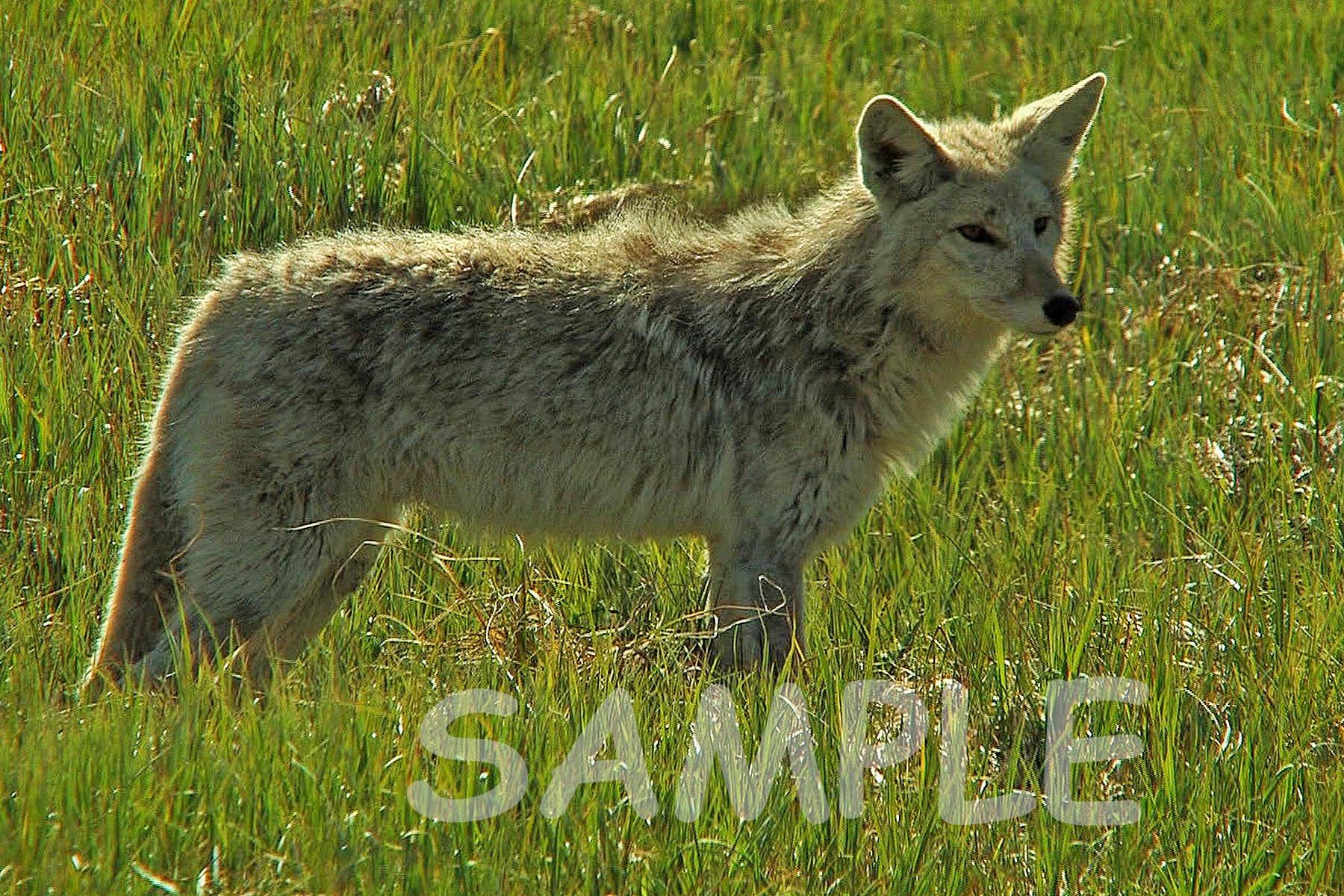 Coyote Fabric Block