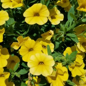 Yellow calibrachoa flowers
