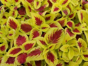 Yellow and red coleus
