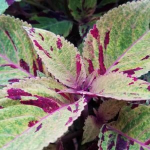 Coleus with red and green mixed coloring
