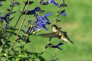 Humming bird near flower