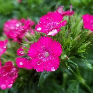Pink dianthus flower close up image