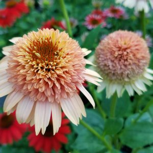 Orange echinacea flower
