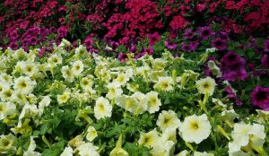 White and red petunias