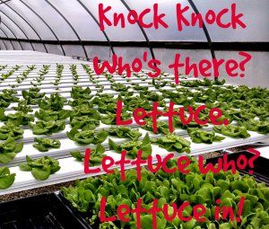 Hydroponic lettuce and a joke about it