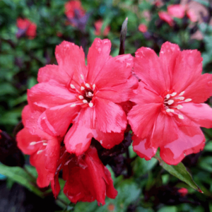 Glossy red flowers