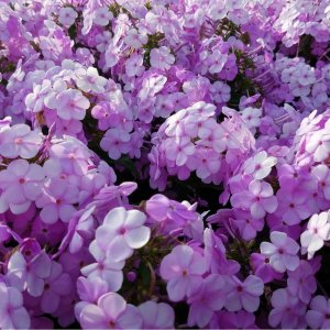 Bunch of phlox flowers