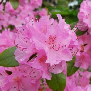 Groups of rhododendron flowers