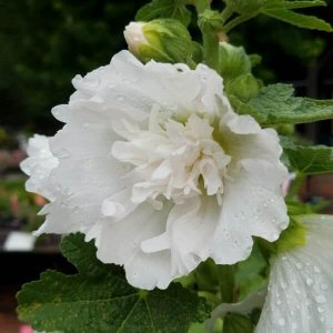 White and fluffy hollyhock flower