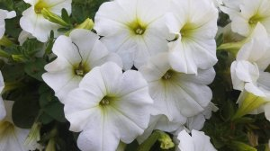 White petunias blooming