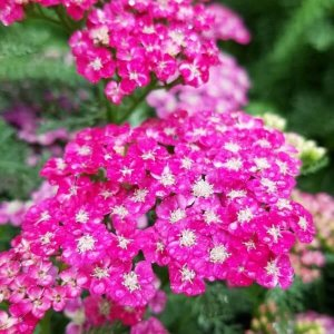 Pink yarrow with rain drops