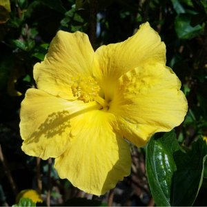 Big yellow hibiscus