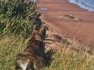 dog staring down at beach