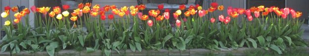 Tulips in Vancouver, Washington