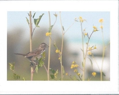 Blank Greeting Card (Flustered Fox Sparrow)