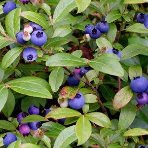 blueberries-151GREEN