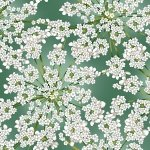 *Winter Blooms Eucalyptus/Silver white floral on green