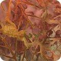 Cornucopia 9 AMD-16831-148 Pumpkin